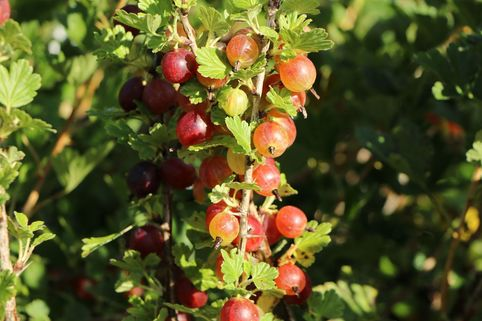 Stachelbeere 'Spinefree' - Ribes uva-crispa 'Spinefree'