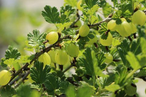 Stachelbeere 'Tatjana' - Ribes uva-crispa 'Tatjana'