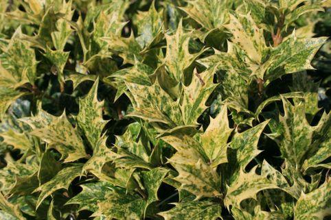 Stachelblättrige Duftblüte 'Goshiki' - Osmanthus heterophyllus 'Goshiki'