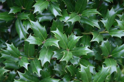 Stachelblättrige Duftblüte - Osmanthus heterophyllus