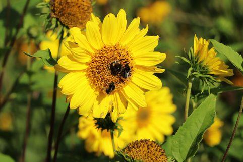 Stauden-Sonnenblume 'Capenoch Star' - Helianthus decapetalus 'Capenoch Star'