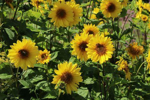 Stauden-Sonnenblume 'Giganteus' - Helianthus atrorubens 'Giganteus'