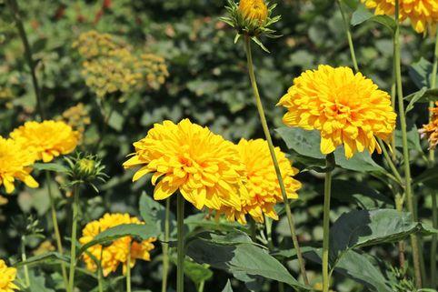 Stauden-Sonnenblume 'Loddon Gold' - Helianthus decapetalus 'Loddon Gold'