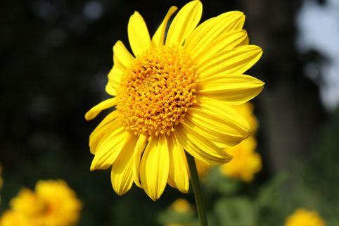Stauden-Sonnenblume 'Meteor' - Helianthus decapetalus 'Meteor'