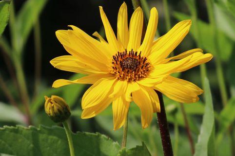 Stauden-Sonnenblume 'Monarch' - Helianthus atrorubens 'Monarch'