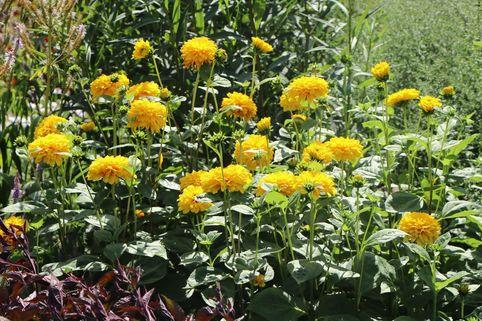 Stauden-Sonnenblume 'Soleil d'Or' - Helianthus decapetalus 'Soleil d'Or'