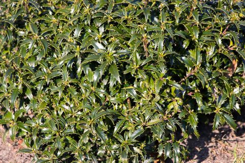 Stechpalme 'Heckenzwerg'  ® - Ilex aquifolium 'Heckenzwerg' ®