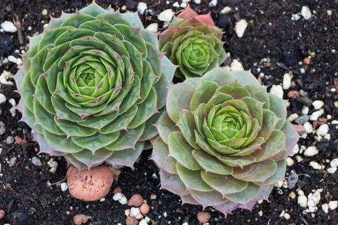 Steinrose 'Smaragd' - Sempervivum marmoreum 'Smaragd'