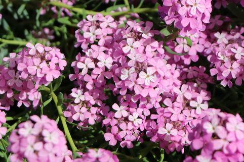 Steintäschel 'Warley Rose' - Aethionema armenum 'Warley Rose'