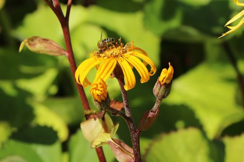 Stern-Goldkolben - Ligularia dentata