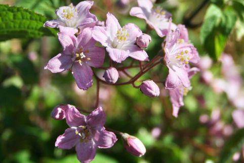 Sternchenstrauch 'Rosealind' - Deutzia elegantissima 'Rosealind'