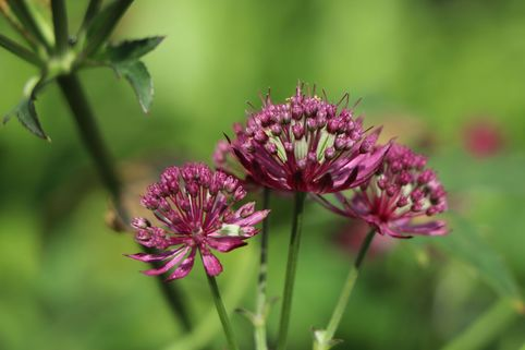Sterndolde 'Claret' - Astrantia major 'Claret'