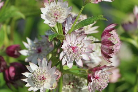 Sterndolde 'Rosea' - Astrantia major 'Rosea'