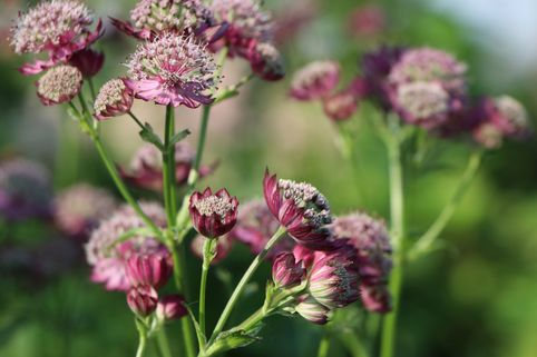 Sterndolde 'Ruby Cloud' - Astrantia major 'Ruby Cloud'