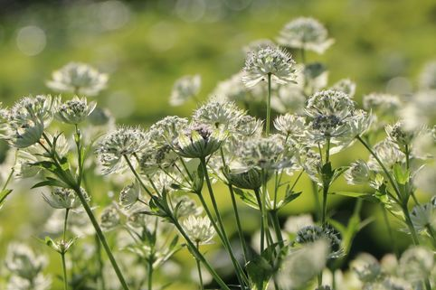 Sterndolde 'Snow Star' ® - Astrantia major 'Snow Star' ®