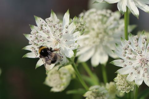 Sterndolde 'Star of Royals' ® - Astrantia major 'Star of Royals' ®