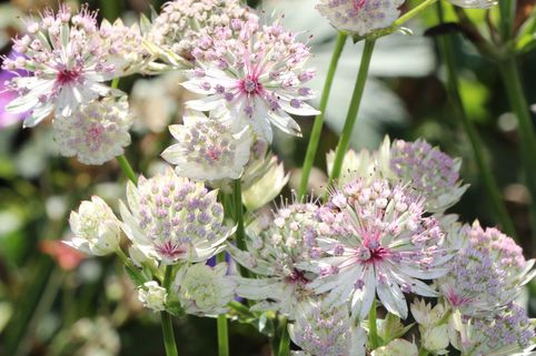 Sterndolde 'Sunningdale Variegated' - Astrantia major 'Sunningdale Variegated'