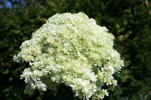 Sternen-Hortensie 'Sternschnuppe' - Hydrangea arborescens Hovaria®  'Hayes Starburst' / 'Sternschnuppe'