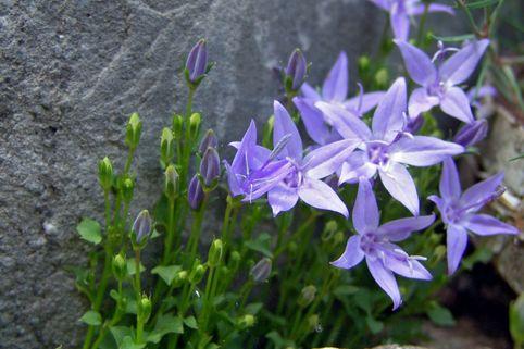 Sternförmige Glockenblumen 'Erinus Major' - Campanula garganica 'Erinus Major'