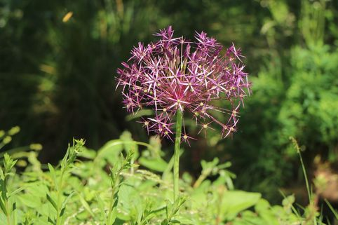 Sternkugel Lauch - Allium christophii