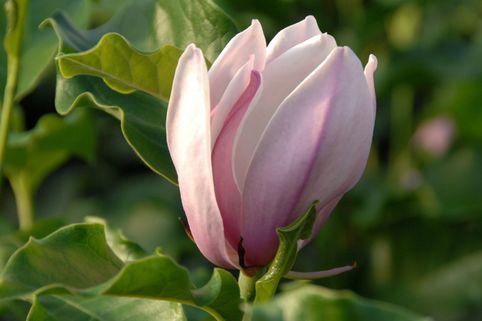 Sternmagnolie 'George Henry Kern' - Magnolia stellata 'George Henry Kern'