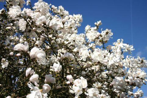 Sternmagnolie 'Waterlily' - Magnolia stellata 'Waterlily'