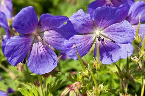 Himalaya-Storchschnabel 'Baby Blue' - Geranium himalayense 'Baby Blue'