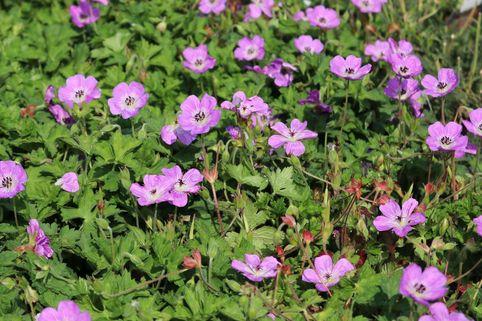 Storchschnabel 'Bloom Time' - Geranium wallichianum 'Bloom Time'