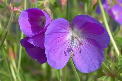 Storchschnabel 'Brookside' - Geranium pratense 'Brookside'