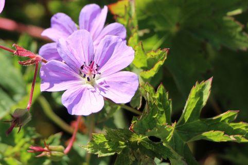 Storchschnabel 'Buxton's Blue' - Geranium wallichianum 'Buxton's Blue'