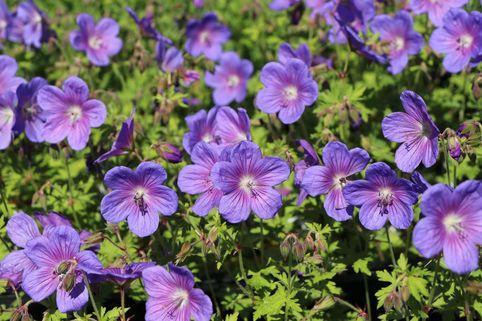 Storchschnabel 'Gravetye' - Geranium himalayense 'Gravetye'