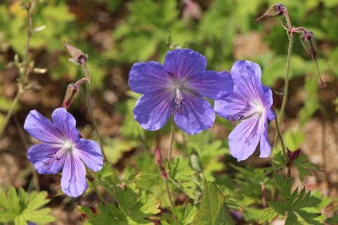 Storchschnabel 'Johnsons Blue' - Geranium pratense 'Johnsons Blue'
