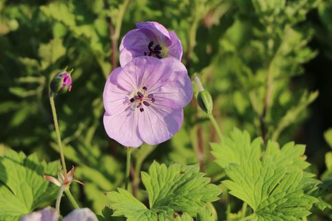 Storchschnabel 'Lilac Ice' - Geranium wallichianum 'Lilac Ice'