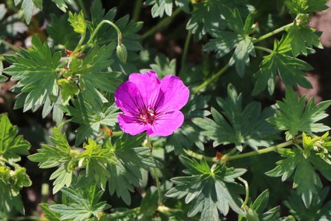Storchschnabel 'Little David' - Geranium psilostemon 'Little David'
