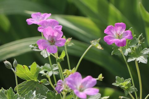 Storchschnabel 'Mavis Simpson' - Geranium x riversleaianum 'Mavis Simpson'