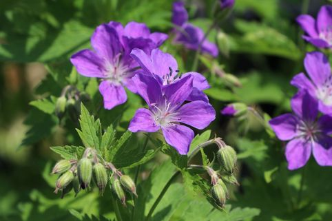 Storchschnabel 'Mayflower' - Geranium sylvaticum 'Mayflower'