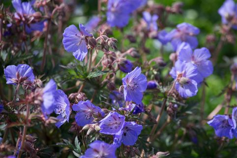 Storchschnabel 'New Dimension' ® - Geranium pratense 'New Dimension' ®