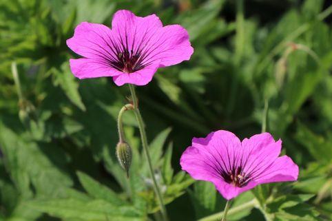 Storchschnabel 'Patricia' - Geranium psilostemon 'Patricia'