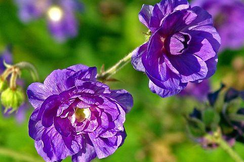 Storchschnabel 'Plenum Violaceum' - Geranium pratense 'Plenum Violaceum'