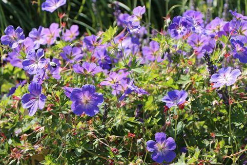 Storchschnabel 'Rozanne' ® - Geranium wallichianum 'Rozanne' ®