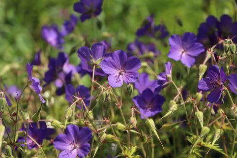 Storchschnabel 'Spinners' - Geranium pratense 'Spinners'