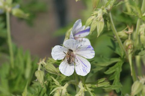 Storchschnabel 'Splish Splash' - Geranium pratense 'Splish Splash'