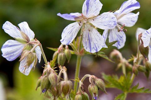 Storchschnabel 'Striatum' - Geranium pratense 'Striatum'