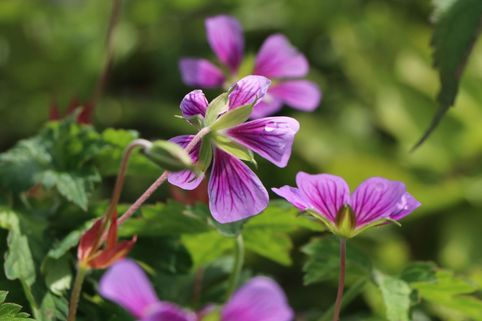 Storchschnabel 'Sweet Heidy' - Geranium wallichianum 'Sweet Heidy'