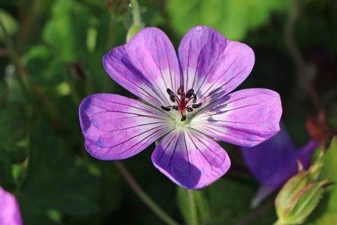 Storchschnabel 'Sylvia's Surprise' ® - Geranium wallichianum 'Sylvia's Surprise' ®