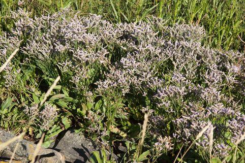 Strandflieder - Limonium vulgare