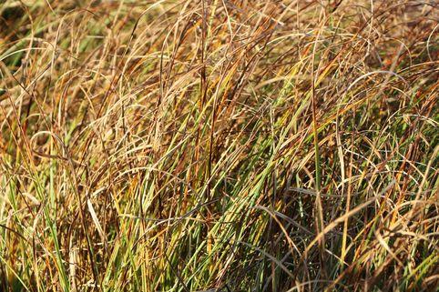 Strandsegge - Carex arenaria