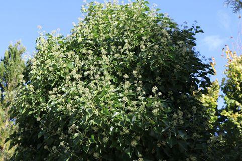 Strauch-Efeu 'Arborescens' - Hedera helix 'Arborescens'