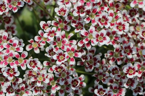 Strauch Steinbrech 'Southside Seedling' - Saxifraga cotyledon 'Southside Seedling'
