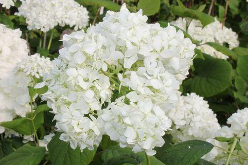 Strauch-Hortensie / Schneeball-Hortensie 'Grandiflora' - Hydrangea arborescens 'Grandiflora'